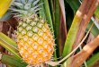fair trade videos about samroiyod pineapples thailand by fair trade connection