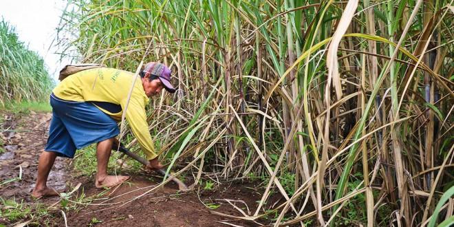 fair trade photos about the sugar cane farmer of alter trade corporation philippines by fair trade connection sugar cane mascobado
