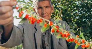 Gappor - Goji berries farmer (16)